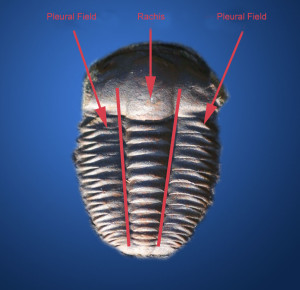 The  longitudinal division into three lobes on Trilobites