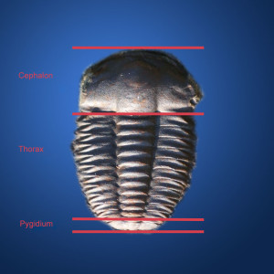 Trilobite division in the transverse direction .