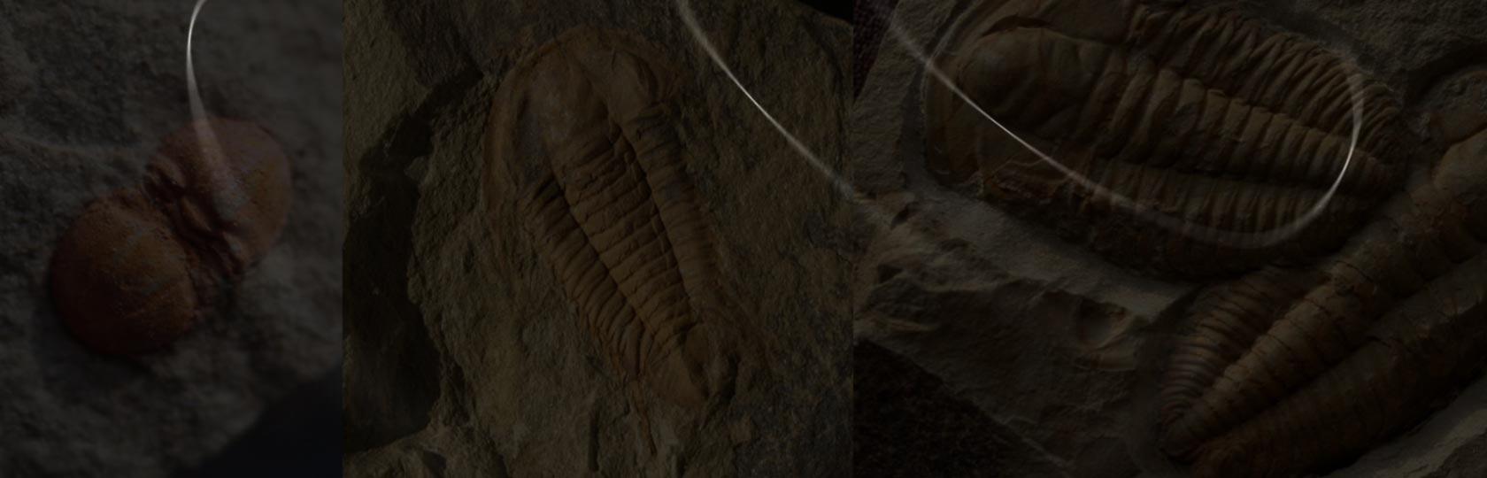 Cambrian Morocco Trilobites