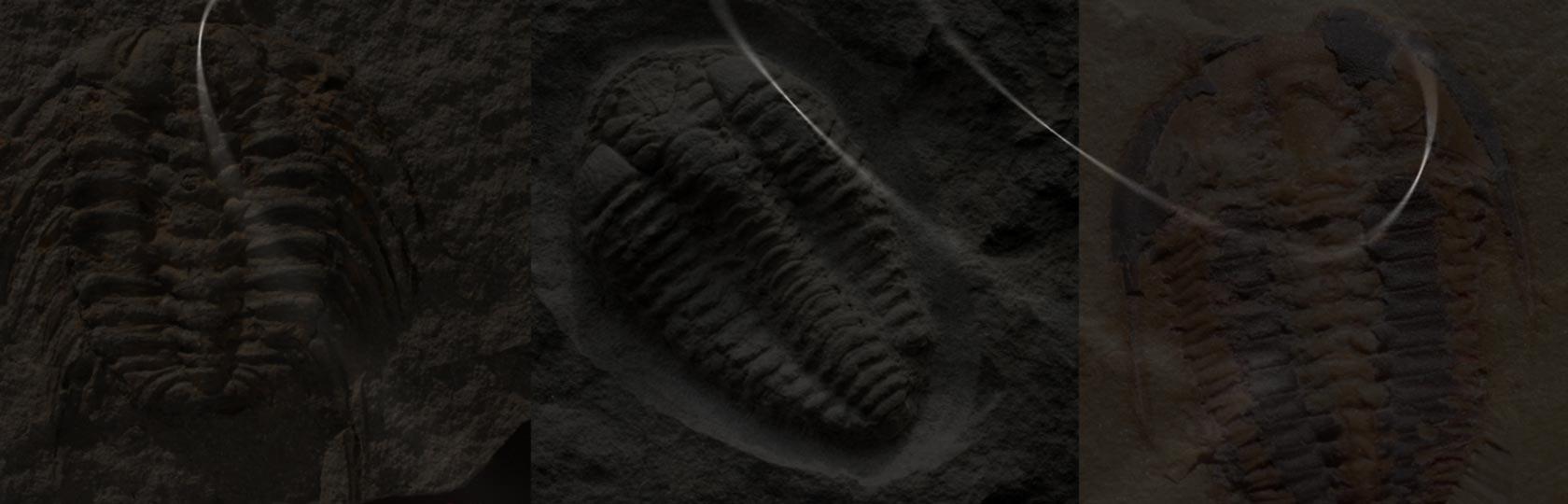 Ordovician Trilobites Morocco